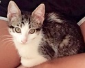 A picture of #ET02578: Noodles a Domestic Short Hair black tabby/white