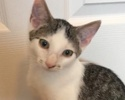 A picture of #ET02579: Rascal a Turkish Van Mix white/black tabby