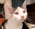 A picture of #ET02580: Fiona a Turkish Van Mix calico