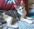 [picture of Fiona, a Turkish Van Mix calico cat]