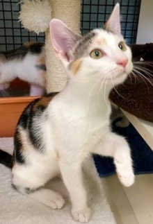 [picture of Fiona, a Turkish Van Mix calico\ cat]