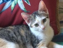 A picture of #ET02581: Cami a Turkish Van Mix calico