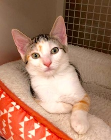 [another picture of Cami, a Turkish Van Mix calico\ cat]