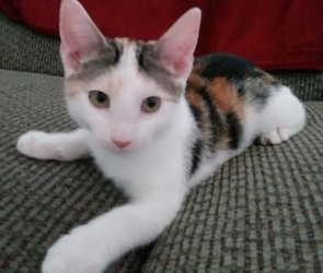 [picture of Cami, a Turkish Van Mix calico cat]