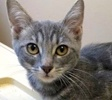 A picture of #ET02582: Rowena a Domestic Short Hair silver