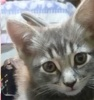 [picture of Rowena, a Domestic Short Hair silver cat]