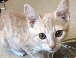 [picture of Godic, a Domestic Short Hair dilute orange\ cat]