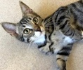 A picture of #ET02584: Salazar a Domestic Short Hair gray/white tabby