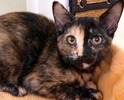 A picture of #ET02585: Janga a Domestic Short Hair tortie