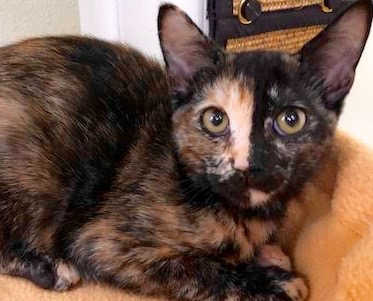[picture of Janga, a Domestic Short Hair tortie\ cat]
