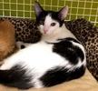 A picture of #ET02586: Yahtzee a Domestic Short Hair black/white