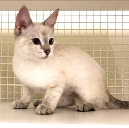 [picture of Alinta, a Siamese lynx point cat]