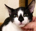 A picture of #ET02588: Dominos a Domestic Short Hair black/white