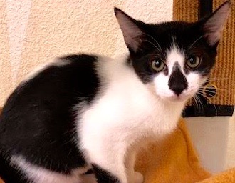 [another picture of Dominos, a Domestic Short Hair black/white\ cat]