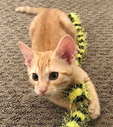 [another picture of Scrabble, a Domestic Short Hair orange tsbby\ cat]