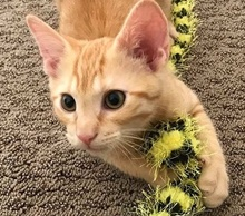 [picture of Scrabble, a Domestic Short Hair orange tsbby\ cat]