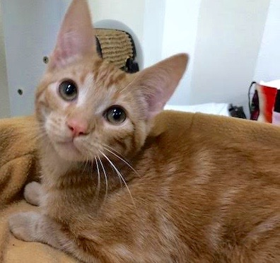 [picture of Trouble, a Domestic Short Hair dark orange marble\ cat]