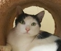 A picture of #ET02591: Alenea a Domestic Short Hair white/black
