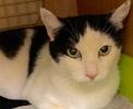 [picture of Alenea, a Domestic Short Hair white/black cat]