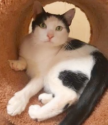 [picture of Aleana, a Domestic Short Hair white/black\ cat]