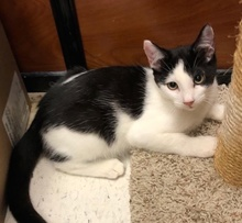 [another picture of Romo, a Domestic Short Hair white/black\ cat]