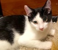 [picture of Romo, a Domestic Short Hair white/black cat]