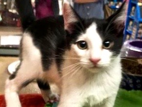 [picture of Romo, a Domestic Short Hair white/black\ cat]