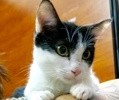 A picture of #ET02593: Roma a Domestic Short Hair black/white