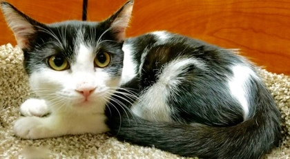 [picture of Roma, a Domestic Short Hair black/white cat]