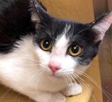 [picture of Roma, a Domestic Short Hair black/white\ cat]