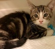 A picture of #ET02594: Diggi a Domestic Short Hair brown tabby/white