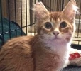 A picture of #ET02596: Henry a Maine Coon-x orange/white