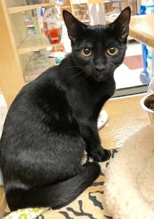 [another picture of Cole, a Bombay black\ cat]