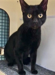 [picture of Cole, a Bombay black cat]