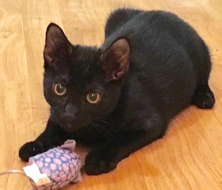 [picture of Zachary, a Bombay black\ cat]