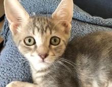 [picture of Araya, a Oriental Mix silver\ cat]