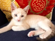 [another picture of Armani, a Siamese Mix lynx point\ cat]