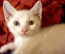 [picture of Armani, a Siamese Mix lynx point\ cat]