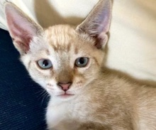 [picture of Amobi, a Siamese Mix blue lynx point\ cat]