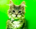 A picture of #ET02605: Domingo a Maine Coon-x gray/white