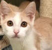 A picture of #ET02606: Diego a Domestic Short Hair orange/white