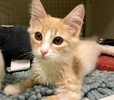 A picture of #ET02607: Dortheo a Maine Coon-x orange/white