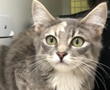A picture of #ET02608: Dinah a Maine Coon-x dilute calico