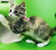 A picture of #ET02609: Daria a Maine Coon-x gray/white
