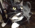A picture of #ET02611: Alexa a Domestic Short Hair black/white tuxedo