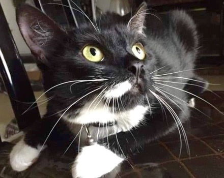 [picture of Alexa, a Domestic Short Hair black/white tuxedo\ cat]