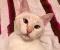 A picture of #ET02612: Ms Willow a Siamese flame point