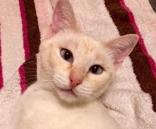 [picture of Ms Willow, a Siamese flame point\ cat]