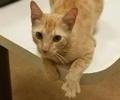 A picture of #ET02615: Pumpkin Latte a Domestic Short Hair orange