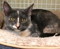 A picture of #ET02616: Piki a Domestic Short Hair dilute calico